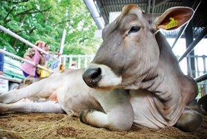 Особливості годівлі і утримання корів-первісток