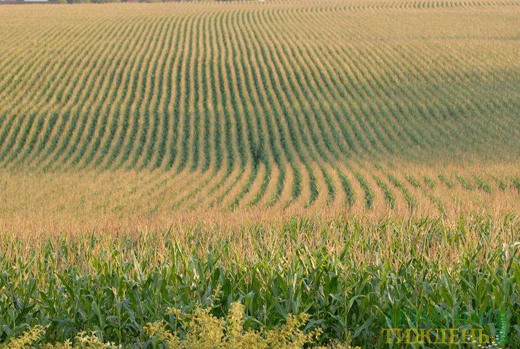 Шкідливі організми кукурудзи та захист від них цариці полів