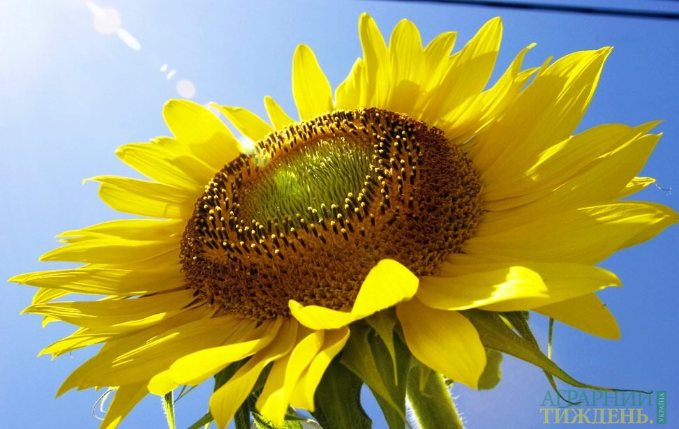 USDA: Україна виробить 14,5 млн т соняшнику