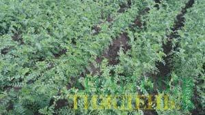 Вплив бактеризації на врожайність нуту