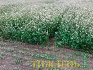 Післяжнивні посіви проса і гречки
