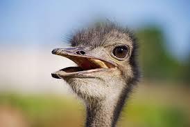 Власник найбільшої страусиної ферми розповів про особливості бізнесу